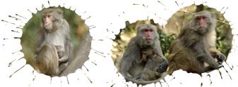 二水台灣獮猴